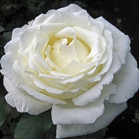 Garden Rose Vitality