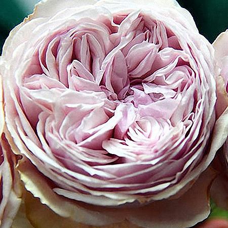 Garden Rose Wabara Senlitsu