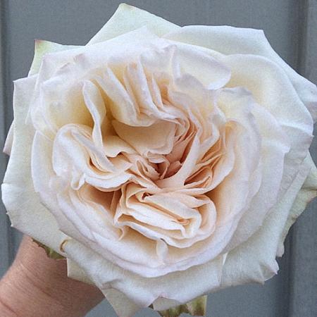 Garden Rose White Ohara