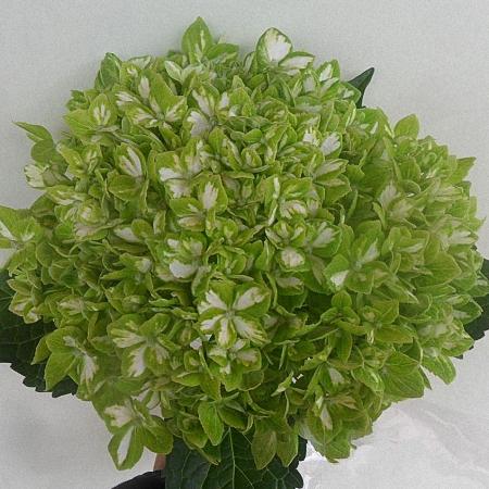 Hydrangea Green Emerald