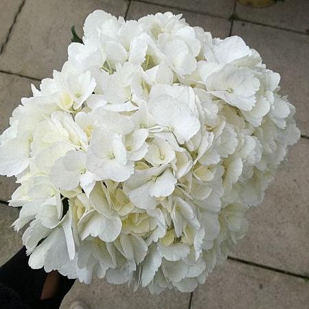 Hydrangea Jumbo White