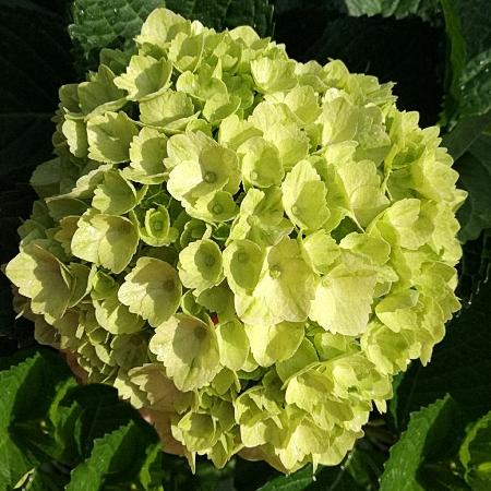 Hydrangea Lime Green