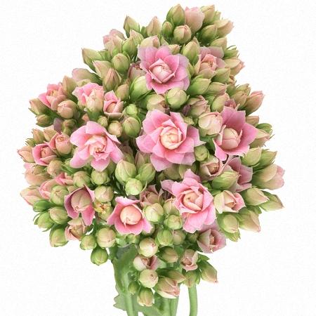 Kalanchoe Rose
