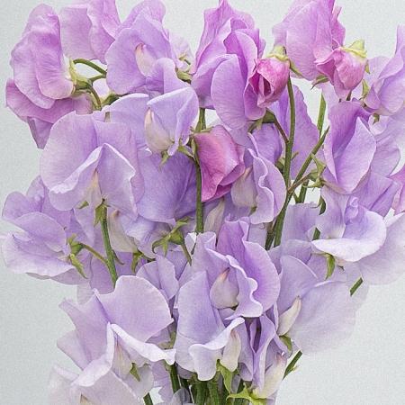 Sweet Pea Lilac