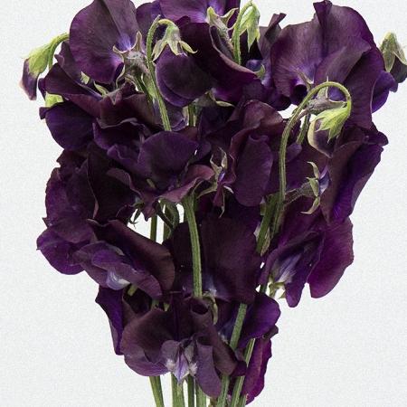 Sweet Pea Purple
