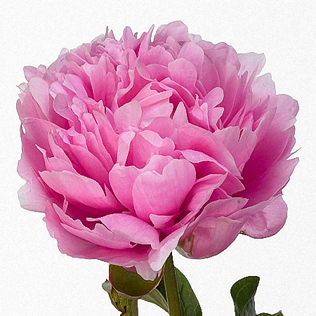 Peony Wolter Kroes