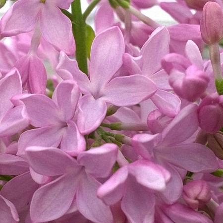 Lilac Esther Staley *4buds/stem*