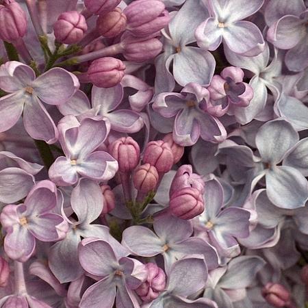 Lilac Lavaliensis *2buds/stem*