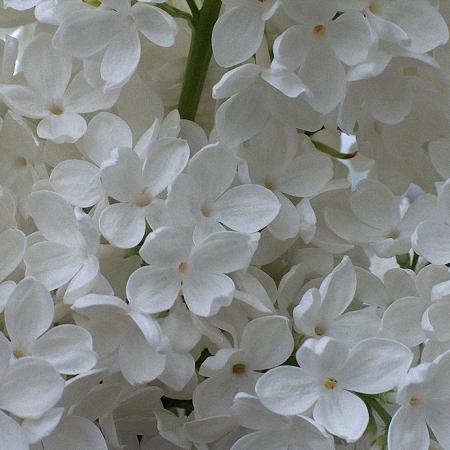 Lilac Mdm Stepman *2buds/stem*