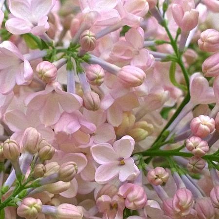 Lilac Maidens Blush *2buds/stem*