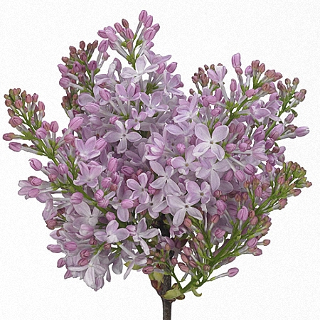 Lilac Romance Pink *2buds/stem*