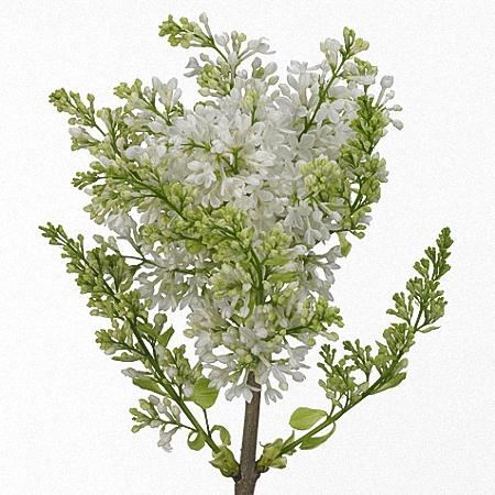 Lilac Virgin White *2buds/stem*