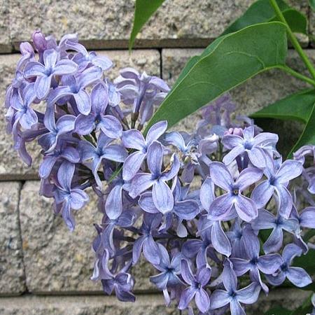 Lilac Wedgwood *2buds/stem*
