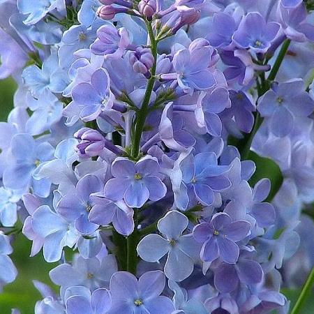 Lilac Wedgwood *4buds/stem*