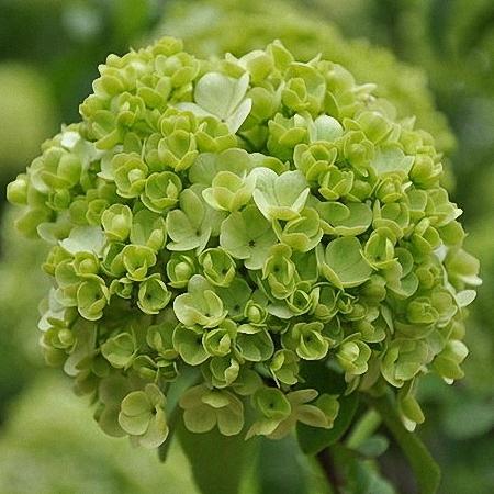 Viburnum 2buds/stem